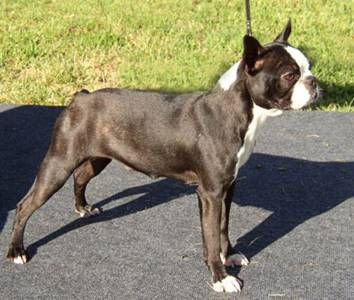 http://www.fichtengarten-boston-terrier.de/images/Peggy-9-Monate.jpg
