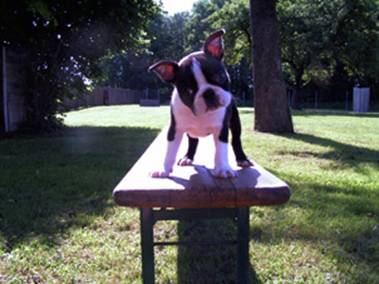 http://www.fichtengarten-boston-terrier.de/images/Atlantis_3.jpg